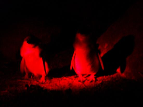Kangaroo Island, Australia: apparently the red light doesn't hurt their eyes