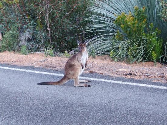 Kangaroo Island, Australia: watch out for the wildlife after dusk!