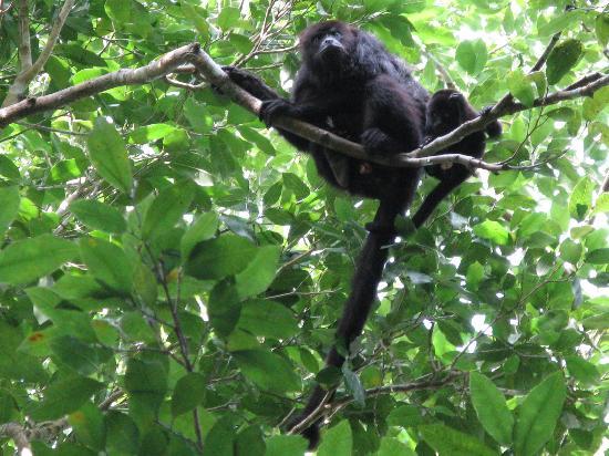 MexiGo Tours: Howler Monkey & Baby