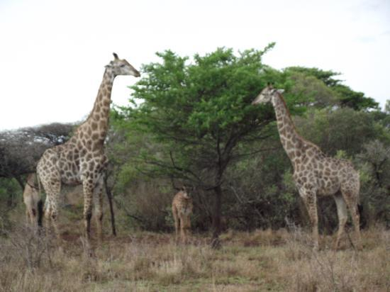 Zululand Safari Lodge: Girafes in Ubizane Wildlife Reserve