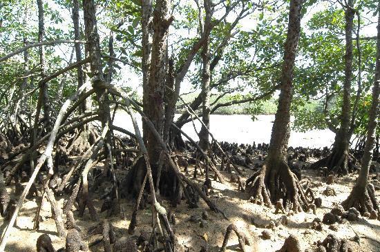 Miyara River Hirugi Grove: ヒルギ林