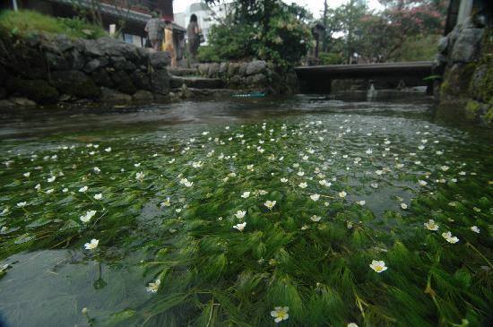 Maibara, Japon : 水草 梅花藻