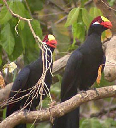 Bannerman's Turaco  Is the name of a bird Found in Cameroon in the whole central Africa region