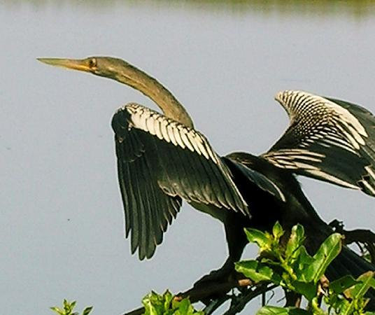 Campo Grande, MS: Schlangenhalsvogel