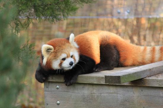 Toronto Zoo: mein Liebling, der rote Panda