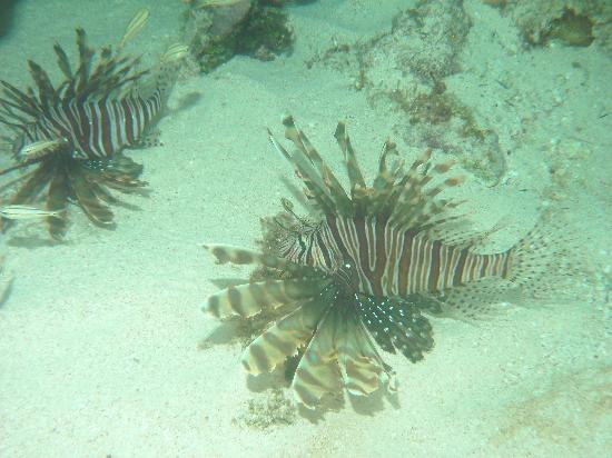 Turtle Nest Inn: Lion fish  in front of TNI