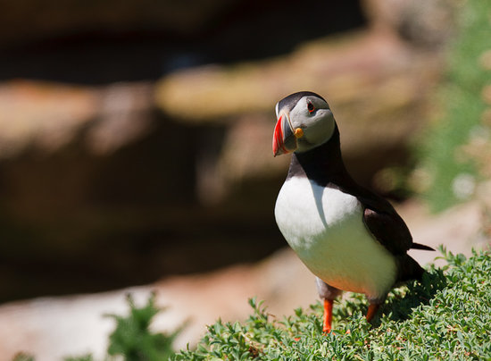 Kilmore Quay, Irlande : Puffins nesting on the Island