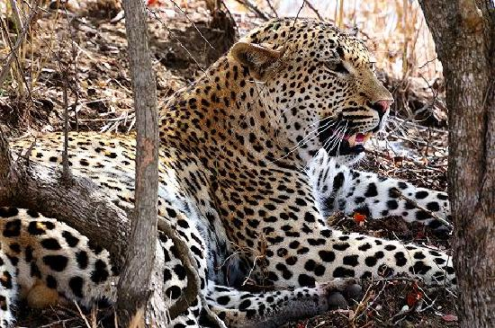 Londolozi Private Game Reserve: So close to the leopard, I can count its whiskers.