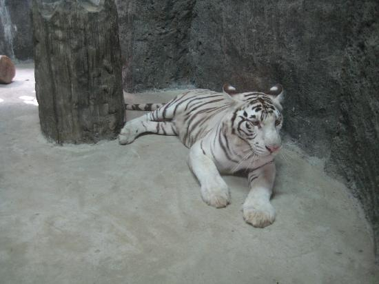 Pasig, Filipinas: White tiger