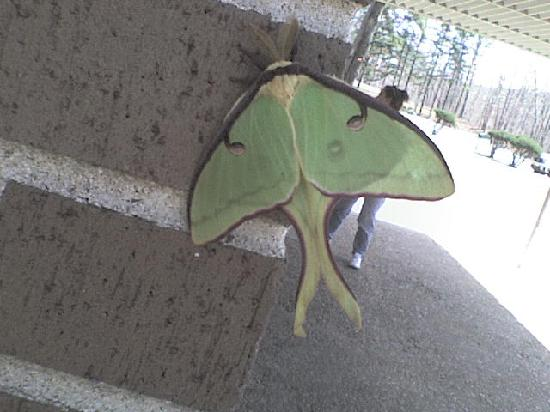 Happy Hollow Motel: Lunar moth on the side of the building. They also have humming birds all over too