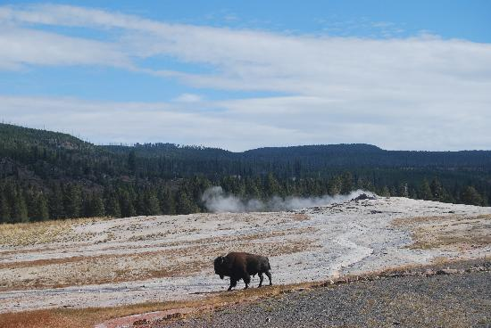 Old Faithful With Bison Picture Of Yellowstone National