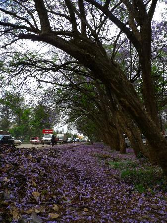 The Ndemi Place: Lovely Jacaranda trees surround the quiet neighborhood