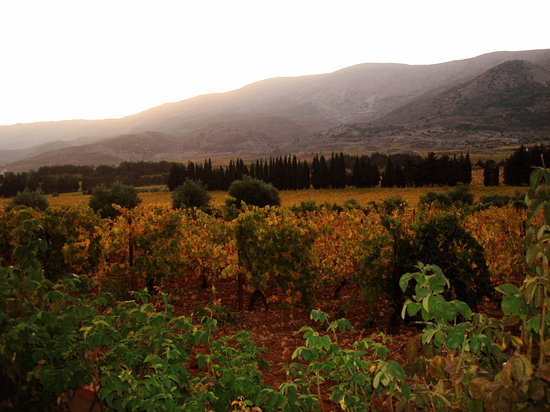 Chateau Kefraya: vineyard