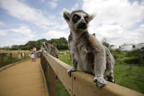 Dunstable, UK: In with the Lemurs
