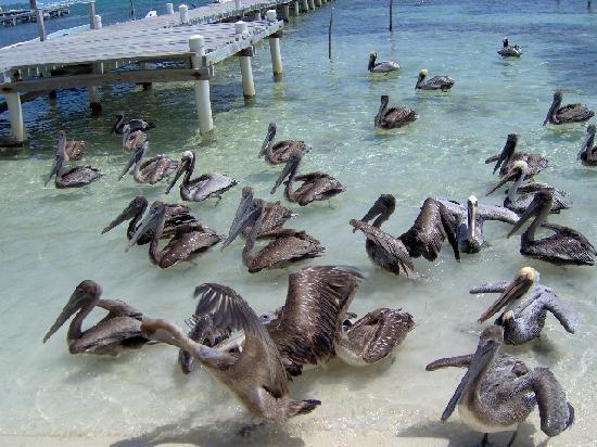 Xaman Ek Resort & Spa: Pelicans!