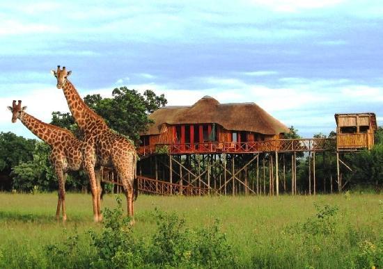 Pezulu Tree House Game Lodge : Giraffes at Pezulu Tree House Lodge