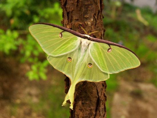 Oneonta, NY: Luna Moth