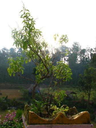 Srimangala, India: tulsi plant