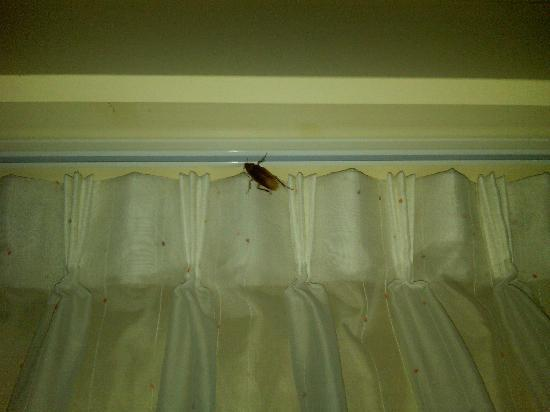 Hilton Chicago/Magnificent Mile Suites: 2 Inch Roach at Hilton Suites - Chicago