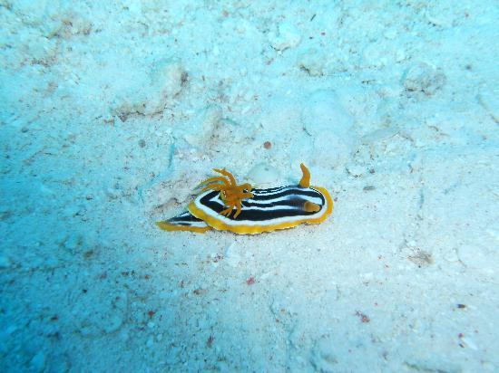 Hurghada, Egypt: Nudibranco quadricolore