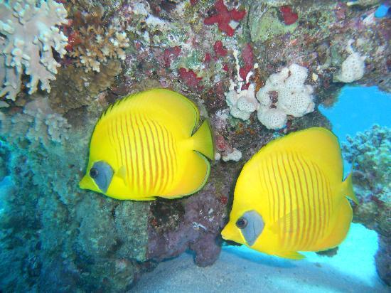 Hurghada, Egypt: Pesce farfalla mascherato
