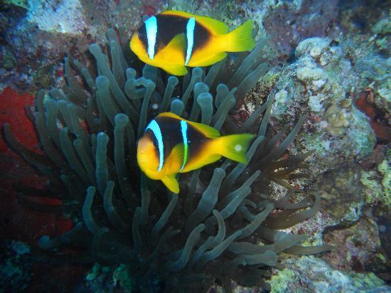 Hurghada, Egypt: Pesce pagliaccio (Nemo)