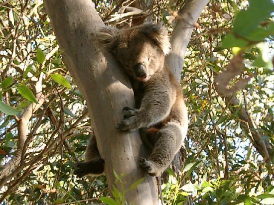 Kangaroo Island, Australië: Koala