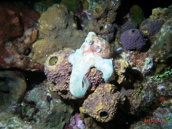 El Cid La Ceiba Beach Hotel: octopus