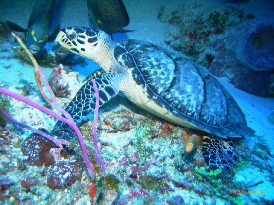 El Cid La Ceiba Beach Hotel: turtle
