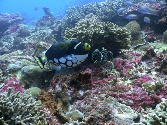 Nusa Lembongan, Indonesië: clown trigger fish