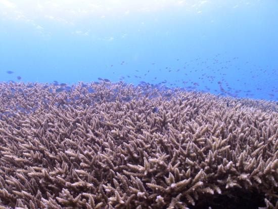 Big Fish Diving: stag horn coral