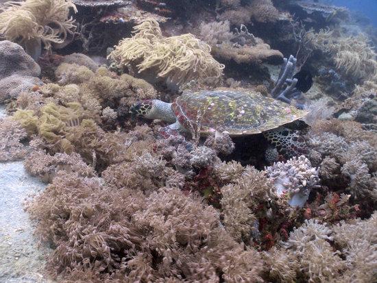 Νούσα Λεμπόνγκαν, Ινδονησία: turtle