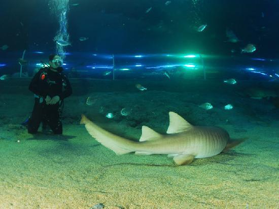 Turkuazoo underwater tunnel and a visitor scuba-diving with sharks ...