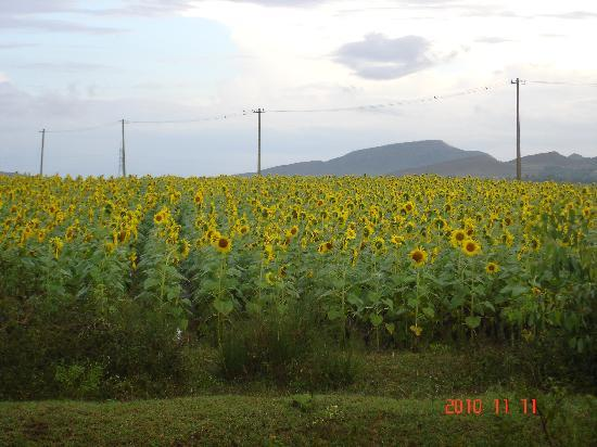 The Planters Court: On the road to Chikmaglur - a farm full of sunflowers