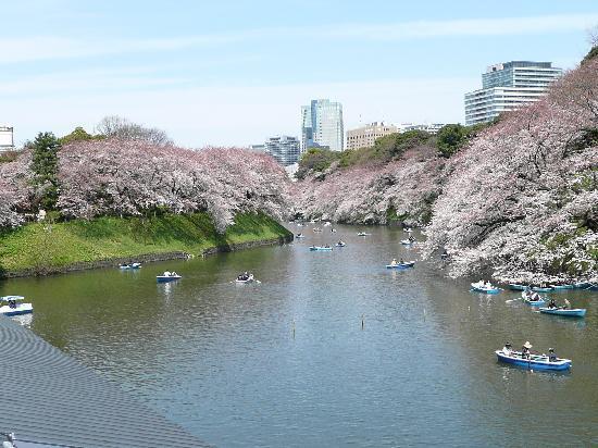 Chidorigafuchi: 千鳥が淵の桜