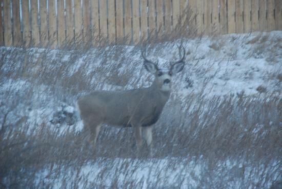Buck behind TRMF office, Medora, ND