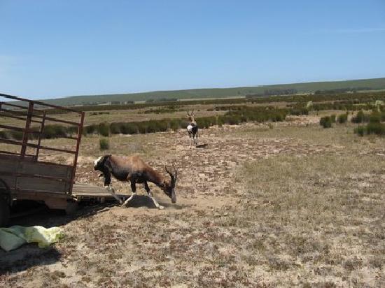 Swellendam Hiking Trail : Bontebok being released onto Nuwejaars
