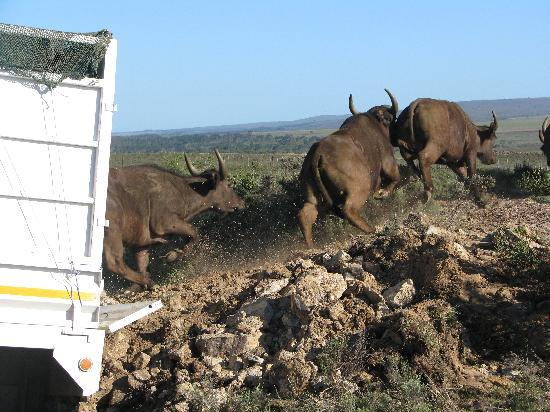 Swellendam Hiking Trail : Cape Buffalo being released onto Nuwejaars