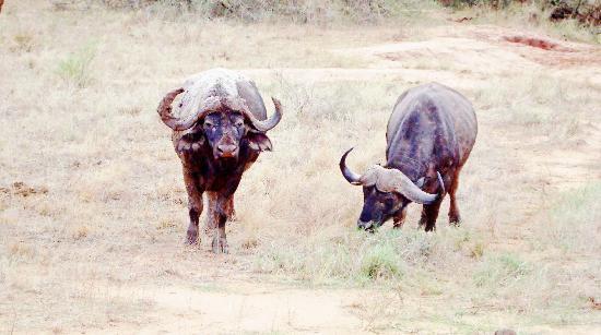 Safari Kenya Watamu - Day Tours: potenti