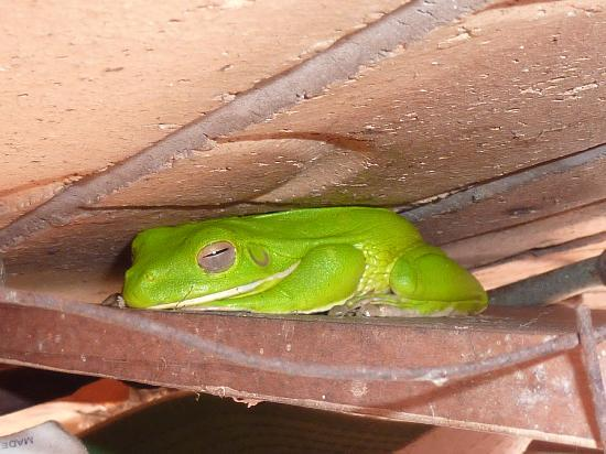 Cairns Bed & Breakfast: this is a frog that lives on Connie's porch
