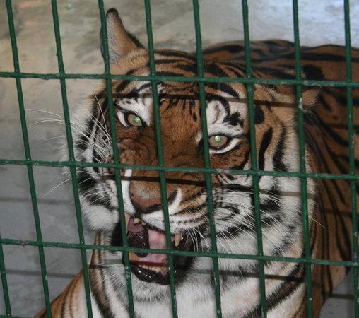 Big Cat Habitat and Gulf Coast Sanctuary: They are beautiful