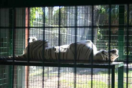 Big Cat Habitat and Gulf Coast Sanctuary: Just Hangin' Out