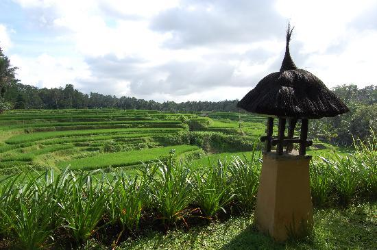 Rice fields from Villa Semana