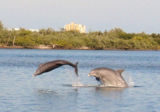 New Smyrna Beach, Φλόριντα: Dolphins play on Kayak Tour