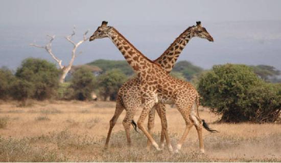 Amboseli Serena Safari Lodge: girra