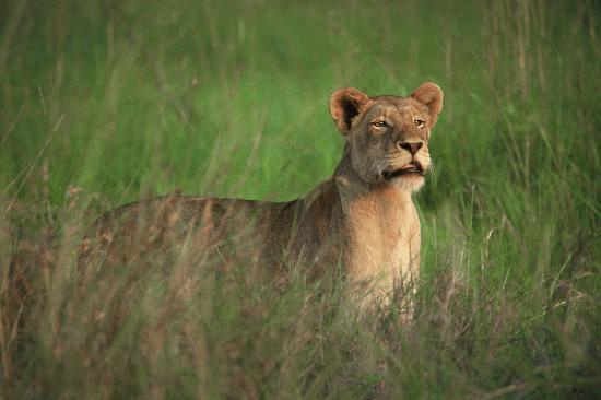 Savanna Private Game Reserve: Lioness at Savanna