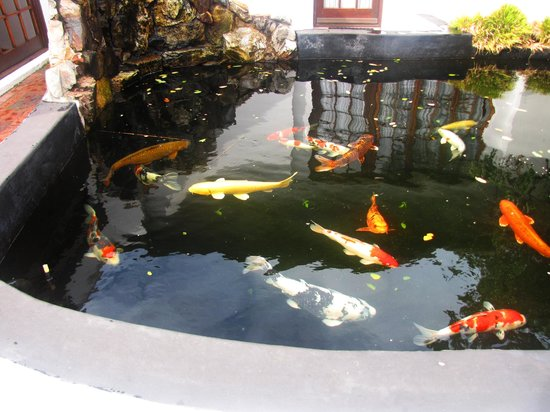 Whale Rock Luxury Lodge: The yellow Koi Carp by the breakfast room pool