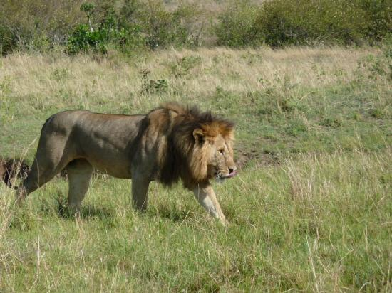 Porini Mara Camp: Lion at the waterhole