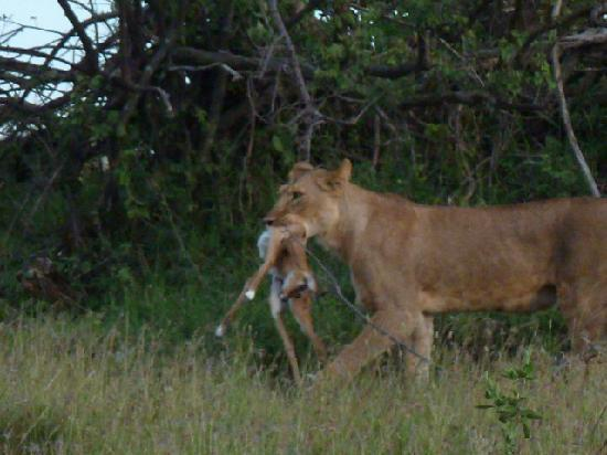 Porini Mara Camp: Lioness after a kill -1