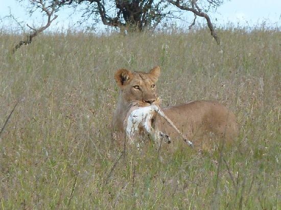 Porini Mara Camp: Lioness after a kill -2